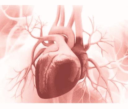 Jantung-definisi-lokasi-dan-ukuran-sifat-otot-fungsi