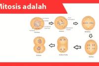 Mitosis-adalah-definisi-karakteristik-tujuan-fungsi-proses-contoh